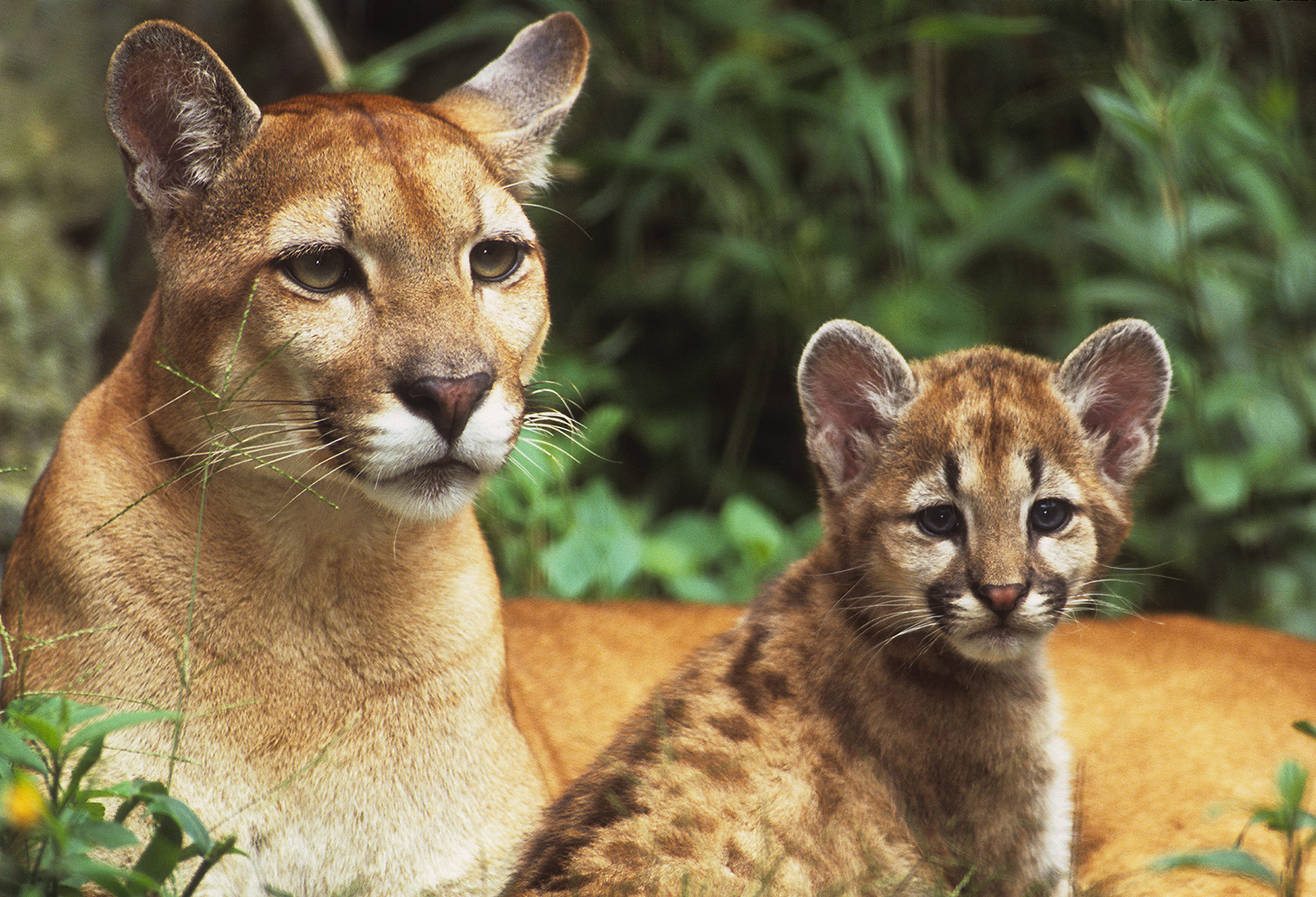 Mountain Lion Foundation – PSA