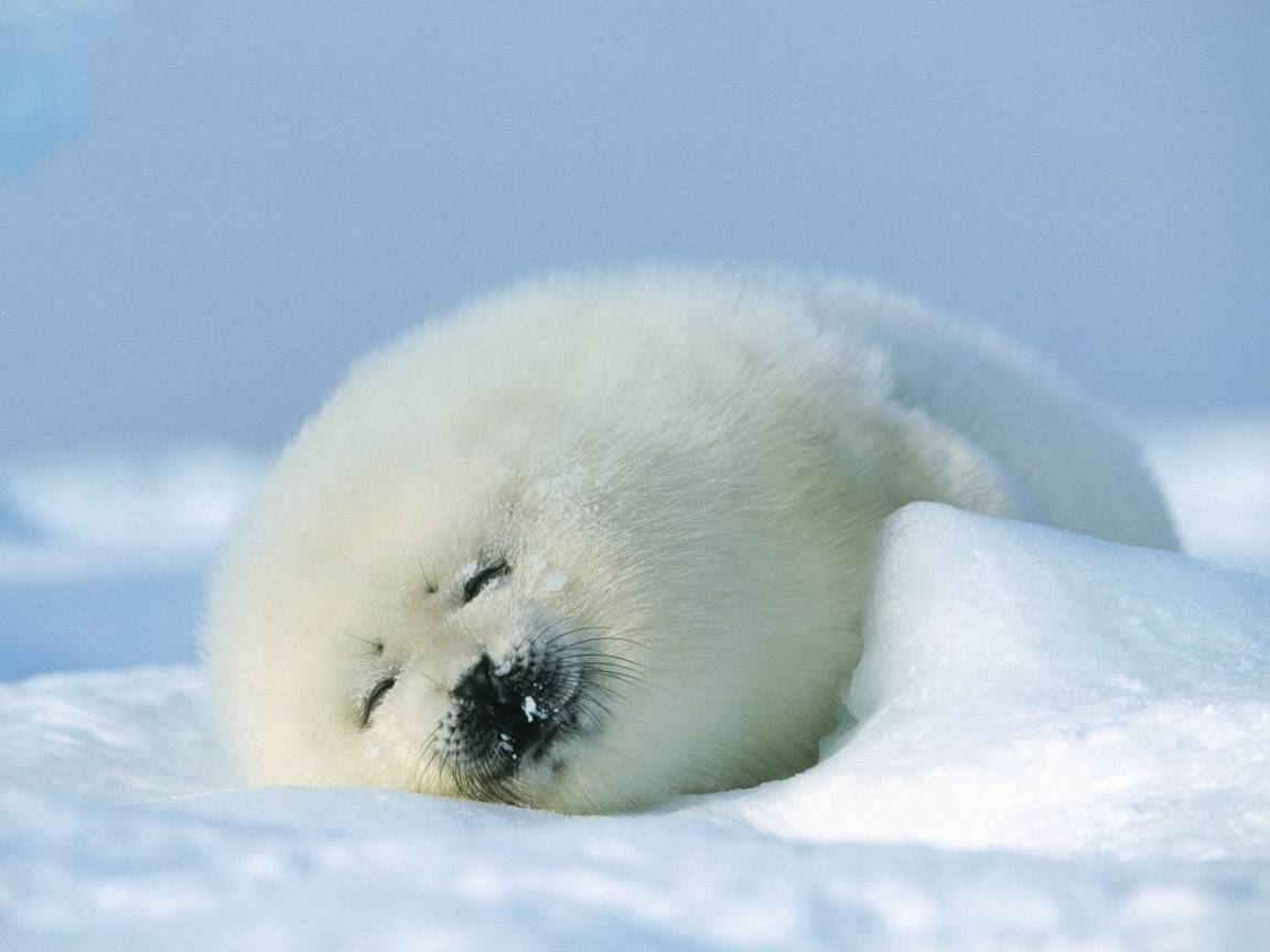 Beauty Seals on ice
